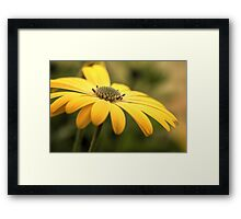 Osteospermum Sunny Asti Framed Print