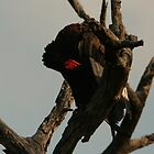 Bateleur Eagle by Jared Bloom