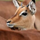 Young Male Impala by Jared Bloom