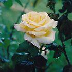 Yellow Rose by seemyshots