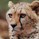 Young male Cheetah - Kenya by Brad Francis