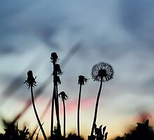 Dandelion Sunset by AbigailJoy