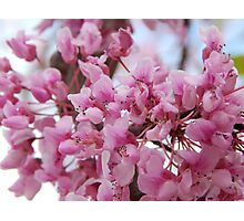 Red Bud Photographic Print