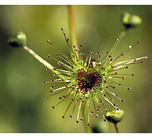 Heart of a Sundew Photographic Print