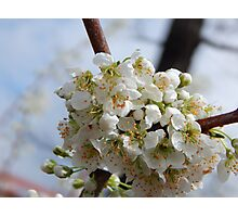 Bruce Plum Blossoms Photographic Print
