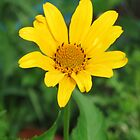 False Sunflower by DPKDesign