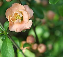Flowering Quince by ElyseFradkin