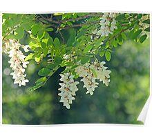 Honey Locust Blossoms Poster
