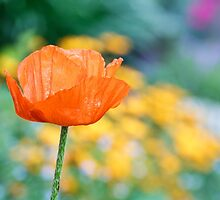 Single Orange Poppy by Kenneth Keifer