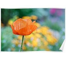 Single Orange Poppy Poster