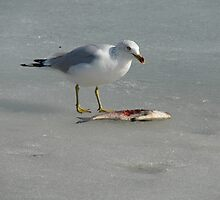 Seagull on the Mississippi River in Winter Eating A Fish by angelandspot