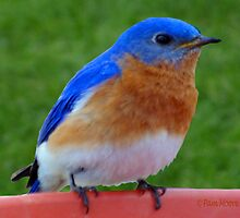 BlueBird Beauty by Pam Moore