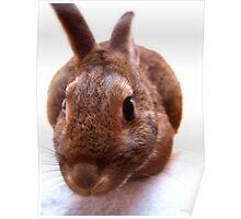 Curious brown bunny Poster