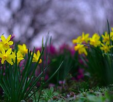 Daffodills on the Pastel Palette of Spring by Dave Bledsoe