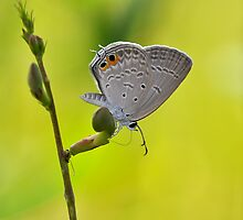 Gram Blue Butterfly  by Tony Wong