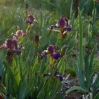 Irises  by TxGimGim