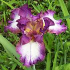 THE BEAUTIFUL IRIS - All Year Long by Ginny York