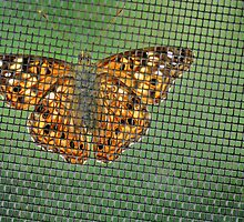 Butterfly at the Window by Kalena Chappell
