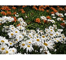 A Daisy A Day Photographic Print