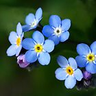 Forget-me-nots by Kathy Reid