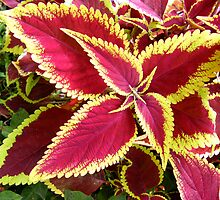 This lovely plant is a Coleus..... by DonnaMoore