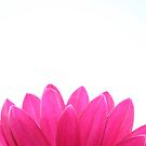 Pink Gerbera Crop by Daniel Rayfield