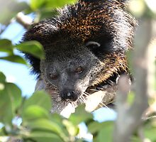 Binturong Portrait by Paul Duckett