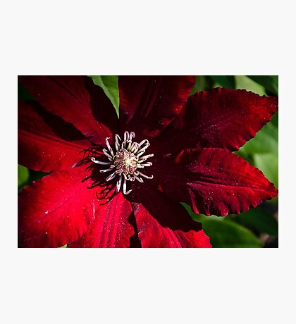 Red Clematis Photographic Print