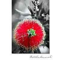 """Bottlebrush"" Callistemon Photographic Print"