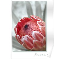 """Pink Ice"" Protea Poster"