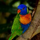 All the colours of the rainbow - the lorikeet by Mark Elshout
