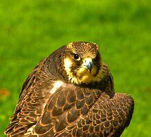 Falcon #2 by Trevor Kersley