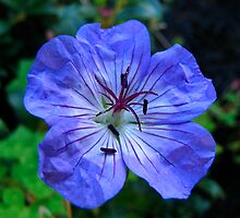 The Geranium by Sharon Perrett