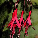 Fuchsia by Robert Abraham