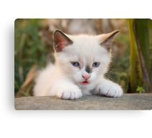 Cute white kitten Canvas Print