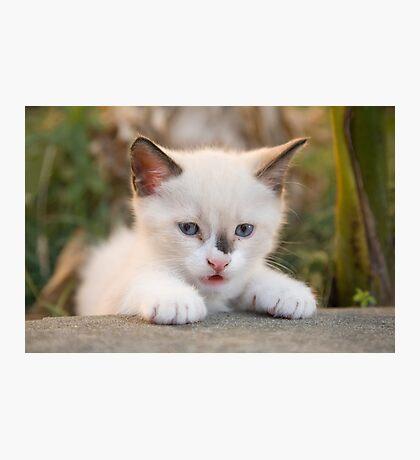 Cute white kitten Photographic Print