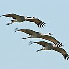 Sandhill Cranes in Flight by David Friederich