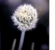 Chive by Holly Kempe