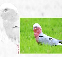 Australian Birdlife - Galah by Holly Kempe