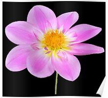 Single Pink Dahlia Poster