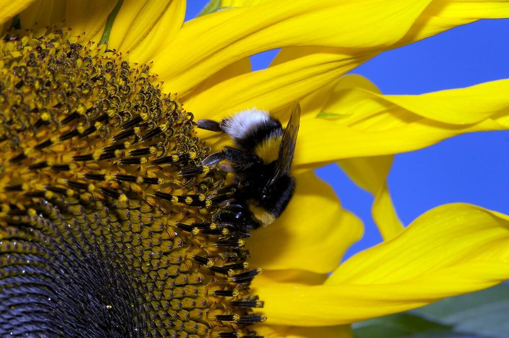Sunflower by markosixty6
