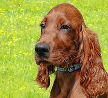 Irish Setter Puppy by Susie Peek