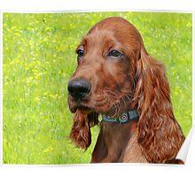 Irish Setter Puppy Poster