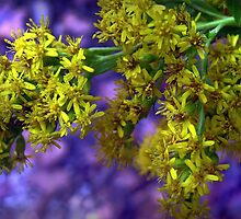 Old-Field Goldenrod by BransonPhotos