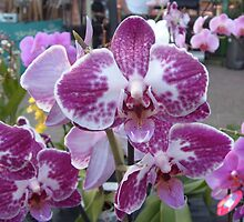More Orchids by Barry Norton
