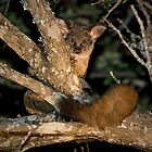 Greater Bushbaby by Michael  Moss