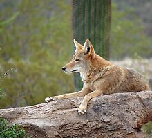 Coyote by LauraStaff