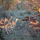 Impala Herd On the Run by Michael  Moss