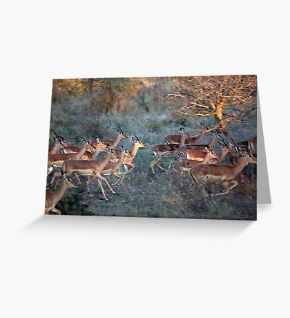 Impala Herd On the Run Greeting Card