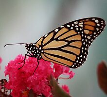 Monarch on Crape Myrtle by Colleen Drew